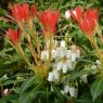 Pieris Forest Flame  AGM