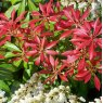 Pieris Mountain Fire  AGM