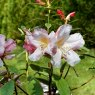 Rhododendron Anne Teese