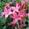 Deciduous Azalea Collection - Late flowering  (4 x 5 litre plants)