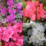 Azalea Collection (4 x 3 litre evergreen azaleas)