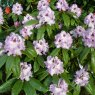 Rhododendron Blue Peter  AGM