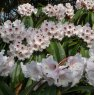 Rhododendron calophytum  AGM