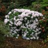 Rhododendron Christmas Cheer AGM